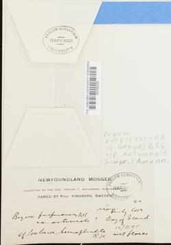 Ptychostomum arcticum image