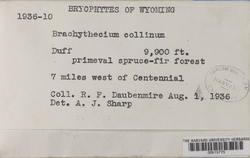 Brachytheciastrum collinum image