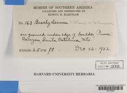 Brachytheciastrum fendleri image