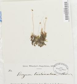 Ptychostomum turbinatum image