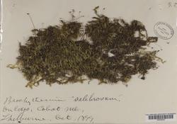 Brachythecium salebrosum image