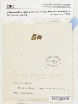 Cleistocarpidium palustre image