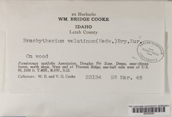 Brachytheciastrum velutinum image