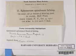 Ephemerum spinulosum image