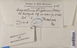 Eurhynchium pulchellum image