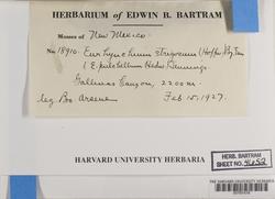 Eurhynchiastrum pulchellum image