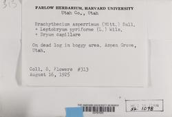 Brachythecium asperrimum image
