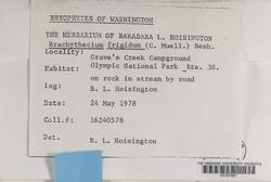 Brachythecium frigidum image