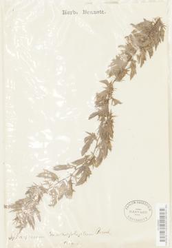 Sphagnum macrophyllum image