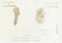 Sphagnum compactum image