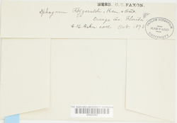 Sphagnum fitzgeraldii image