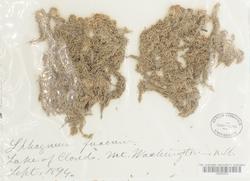Sphagnum fuscum image