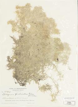 Sphagnum fimbriatum image
