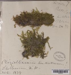 Plagiothecium denticulatum image