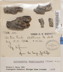 Acrocordia megalospora image