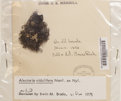 Bryoria furcellata image