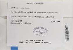 Cladonia humilis image