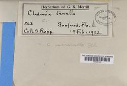 Cladonia incrassata image