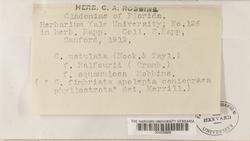 Cladonia macilenta image