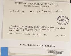Cladonia arbuscula subsp. mitis image