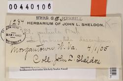 Cladonia peziziformis image