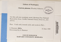 Cladonia pleurota image
