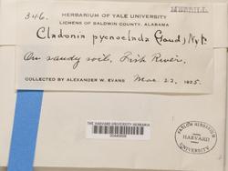 Cladonia pycnoclada image