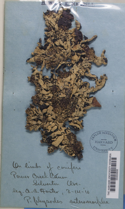 Hypogymnia enteromorphoides image