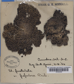 Umbilicaria papulosa image
