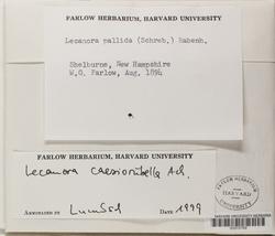 Lecanora caesiorubella image