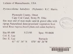 Pyrenocollema halodytes image