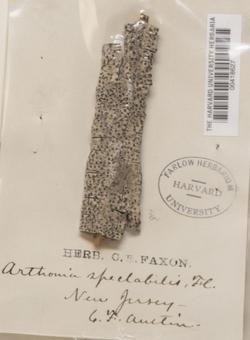 Arthothelium spectabile image