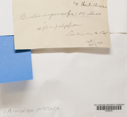 Amandinea punctata image