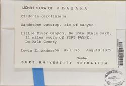 Cladonia caroliniana image