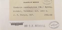 Cladonia ceratophylla image
