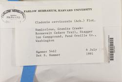 Cladonia cervicornis image