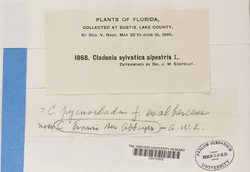 Cladonia evansii image