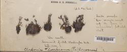 Cladonia floerkeana image