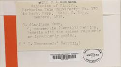 Cladonia floridana image