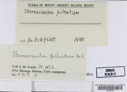 Stereocaulon pileatum image