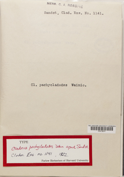 Cladonia pachycladodes image