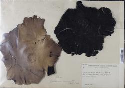 Umbilicaria mammulata image