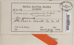 Cladonia arbuscula image