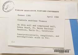 Cladonia asahinae image