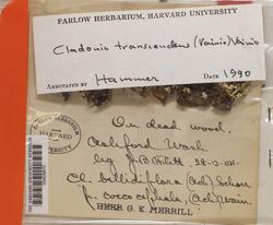 Cladonia bellidiflora image