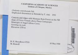 Cladonia corymbosula image
