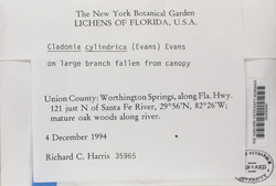 Cladonia cylindrica image