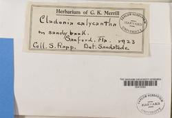 Cladonia rappii image
