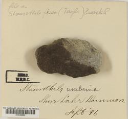 Staurothele fissa image