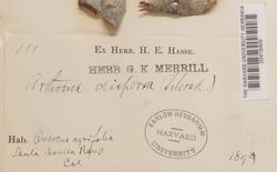 Arthothelium ruanum image